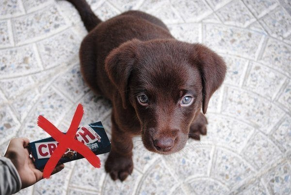 Why Chocolate Is Bad Poisonous To Dogs All About Dog Gadgets